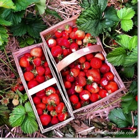 strawberry picking in Germany