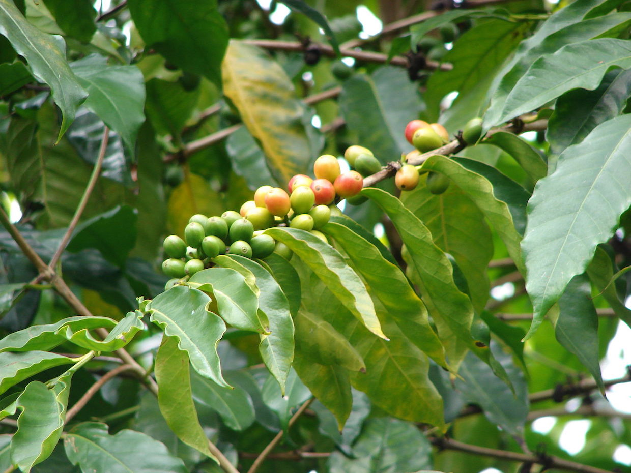 Coffee Arabica In Ethiopia Climate Change Will Be Disastrous To Ethiopian Coffee