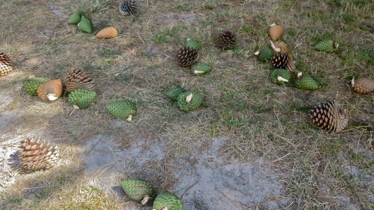 all colours of pine cones