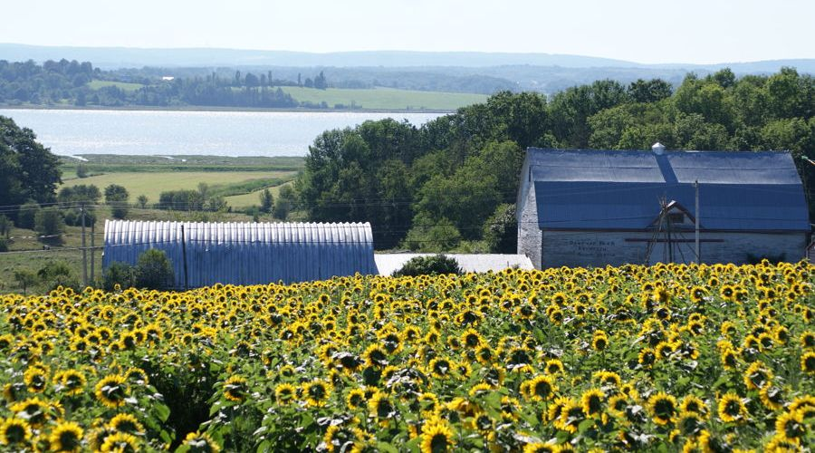 Sunflowers-Avon-River