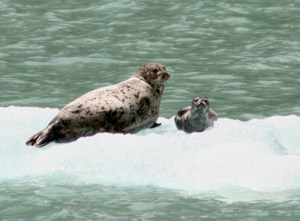 Alaskan seals. Copyright Donnelle Oxley