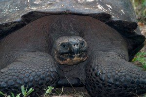 Galapagos tortoise. Copyright Donnelle Oxley