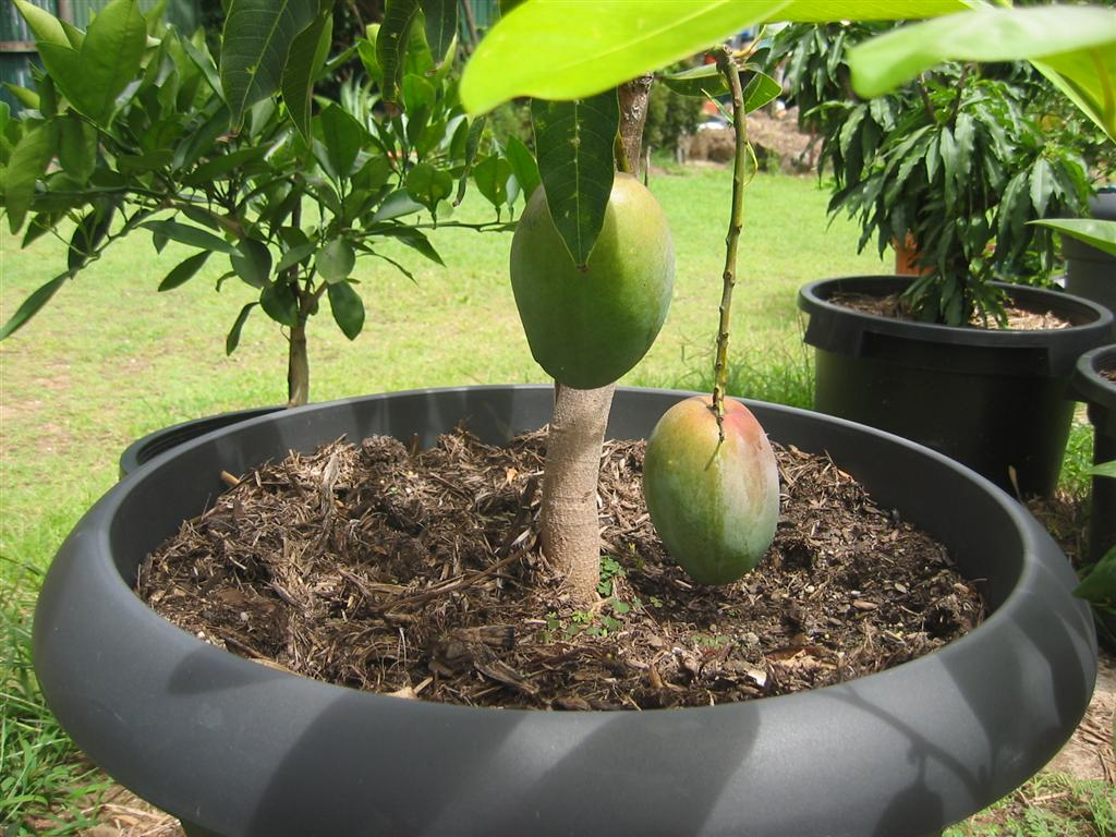 Arboles En Macetas Grandes Daleys Fruit Tree Blog Fruit Trees In Pots Green Thumb