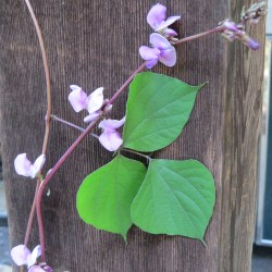 Prissy Hyacinth Bean Vine Hyacinth Bean Vine Dallas Garden Buzz Hyacinth Bean Vine Yellow Leaves Hyacinth Bean Vine Annual Or Perennial