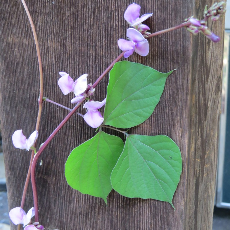 Large Of Hyacinth Bean Vine