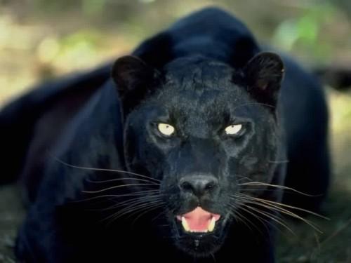 black-panther1-e1367080601283