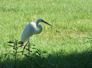 local Lafayette, LA egret