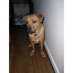 Outstanding Dog Blog Dog Blog Dandelion Paperweight Boxer Pug Mix Adoption Mini Boxer Pug Mix
