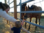 Feeding wild horses at the BLM Wild Horse Complex in Ridgecrest.