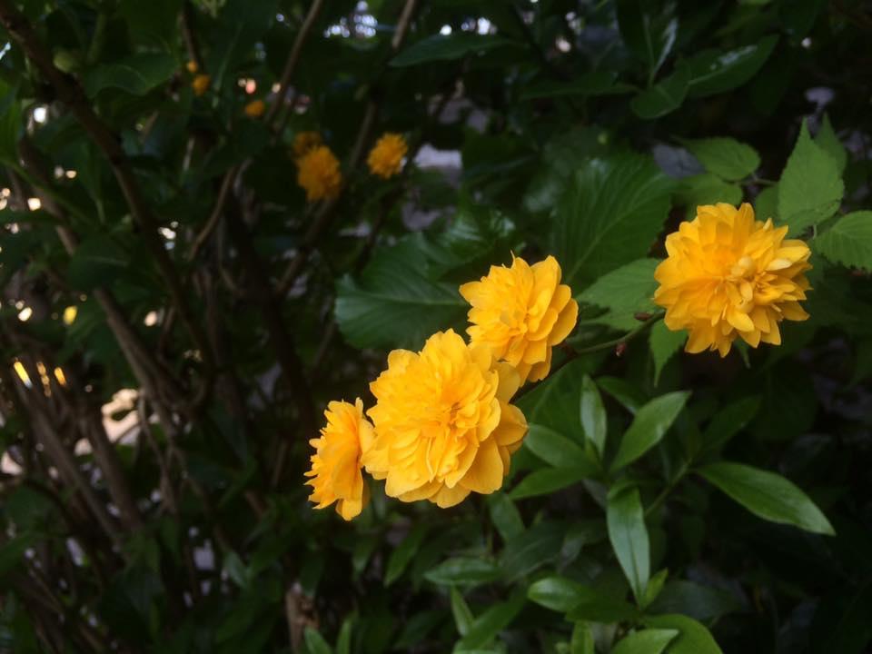八重咲のヤマブキ~鎌倉一時保育日誌