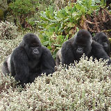 Dian Fossey's Gorillas 50 Years On: Conservation and Lessons Learned