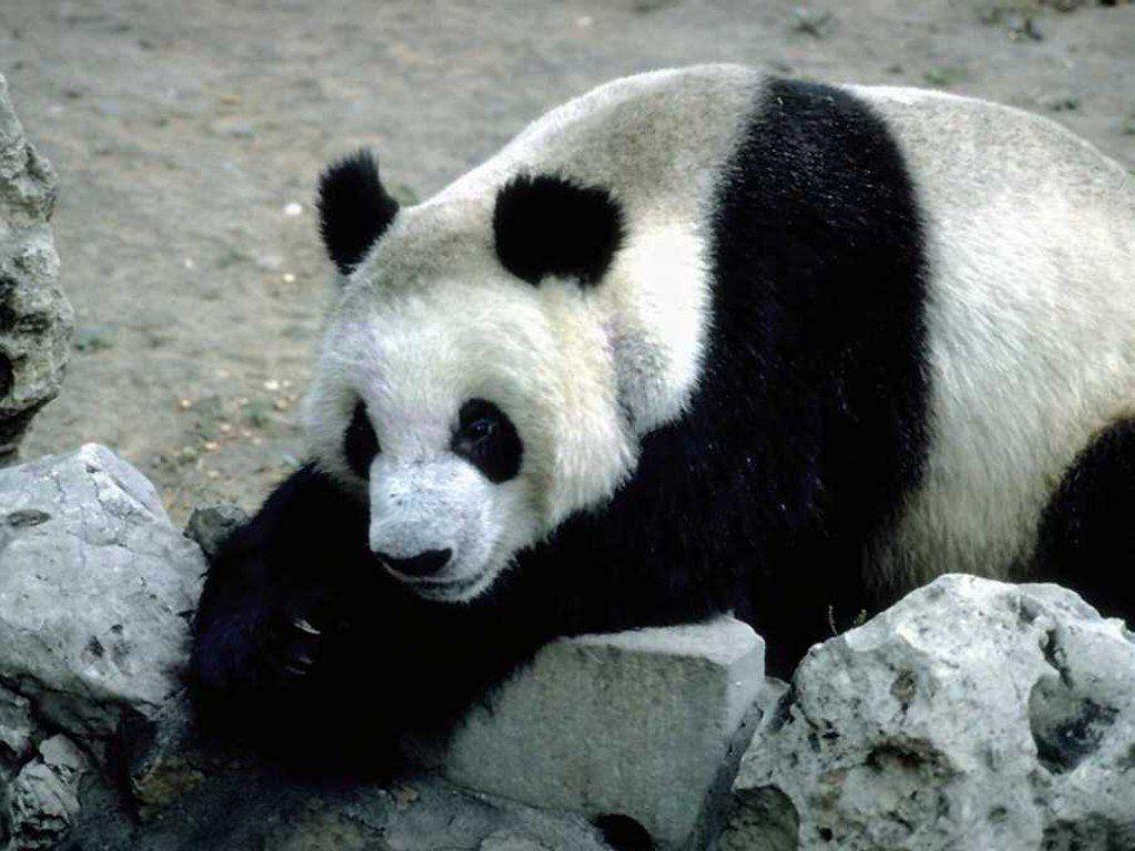 Hd Cute Panda Wallpaper Penda