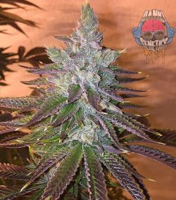 Travellers Kush by L from the Dank Team
