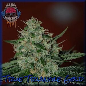 True Triangle Gold