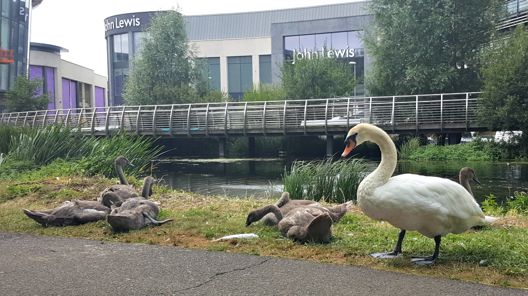 Swans and cygnets in Chelmsford