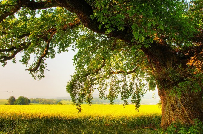 6894163-oak-tree-wallpaper-hd