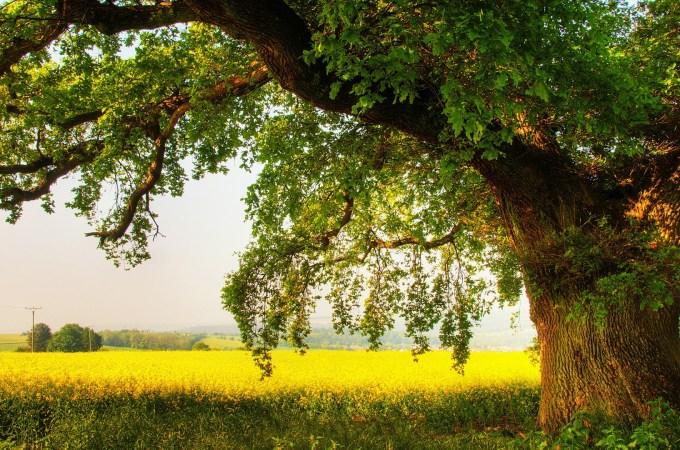 6894163-oak-tree-wallpaper-hd