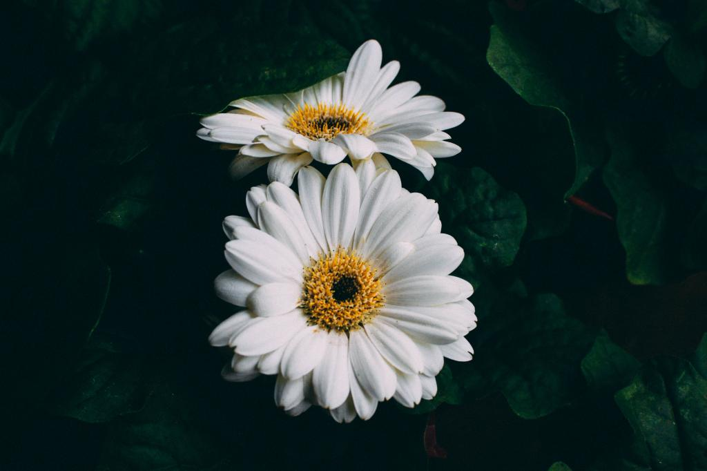 Gerbera Flower Bengali Meaning Wallpaper Gerbera, White, Flowers Hd : Widescreen : High