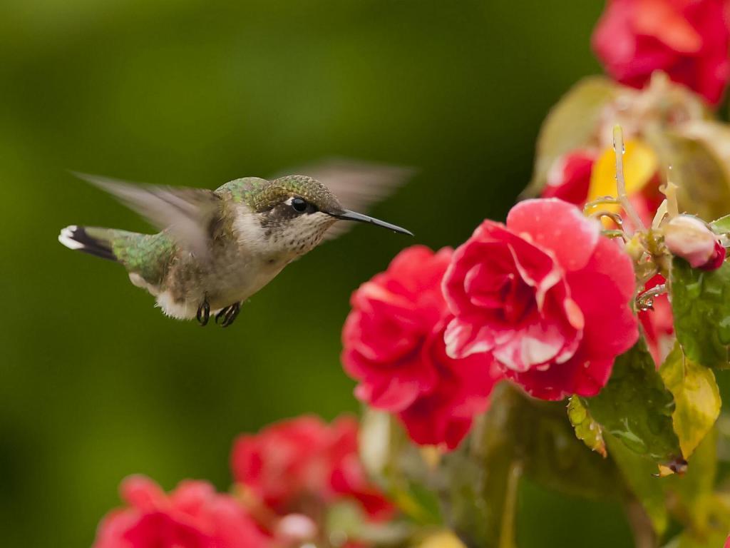 Disney Princess 3d Wallpaper Hummingbird In Flowers Hd Desktop Wallpaper