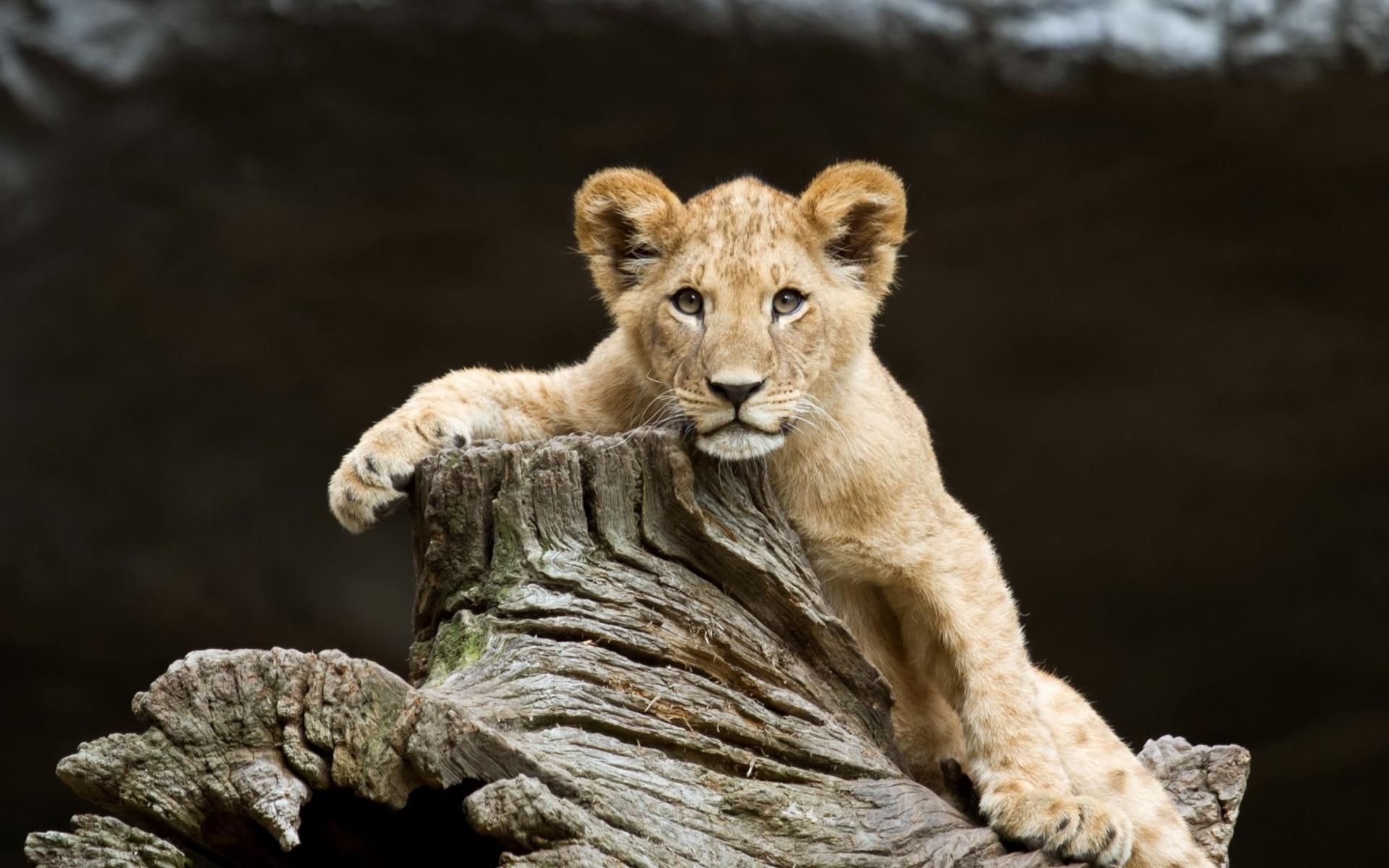 Cute Lion Cubs Hd Wallpapers 와이드 스크린 아기 사자는 육식 동물 야생 동물 얼굴 눈을 Pov 1080p의 Hd 벽지 새끼