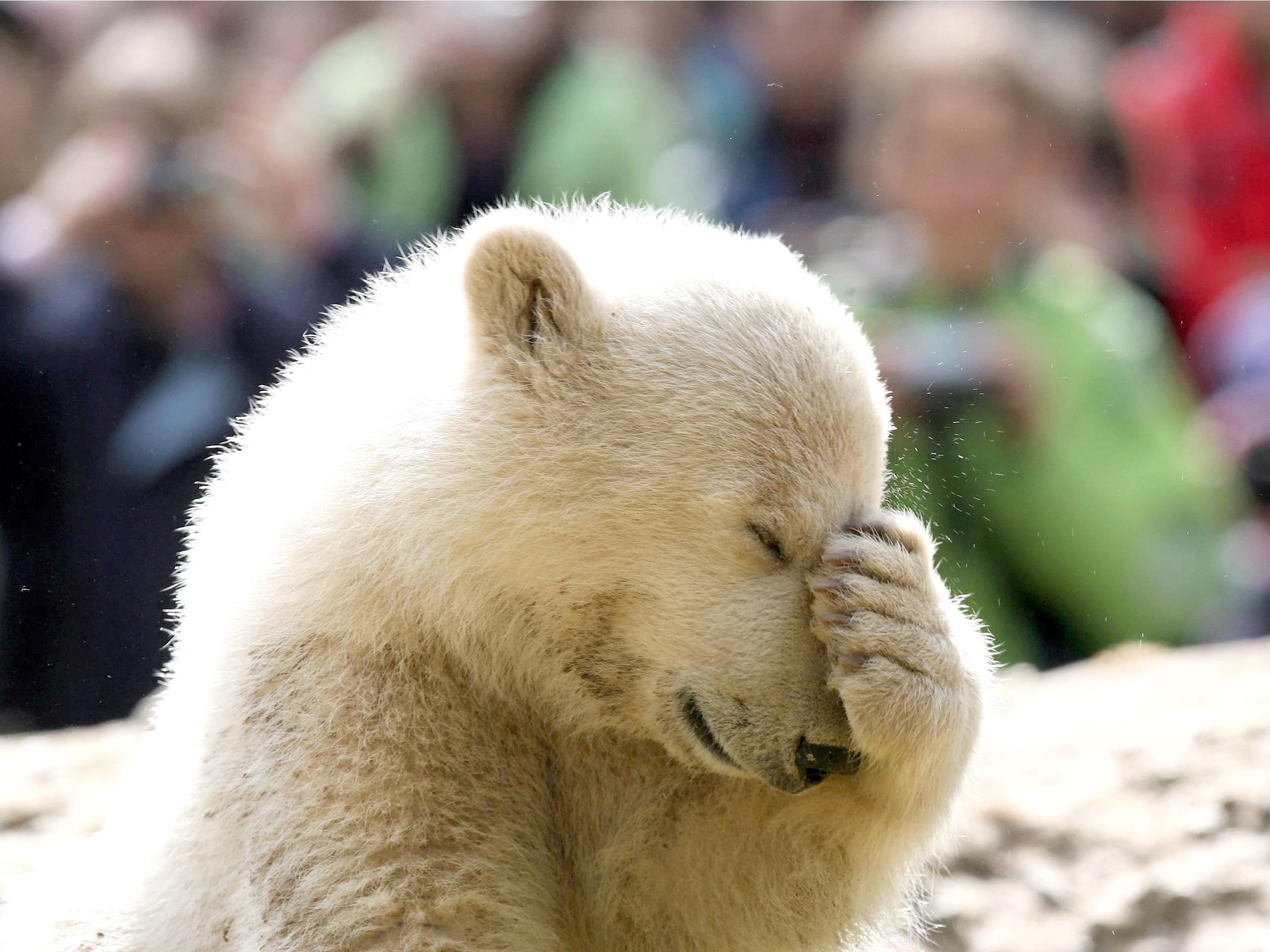 Sad Cute Baby Hd Wallpaper Knut Polar Bear Hd Desktop Wallpaper