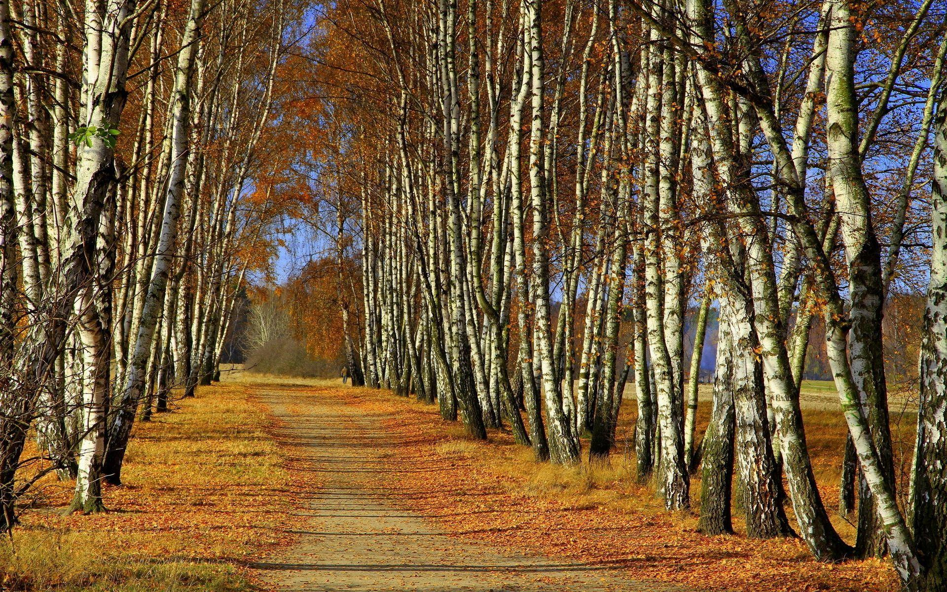 Free Widescreen Wallpaper Fall Path In The Birch Forest Hd Desktop Wallpaper Widescreen