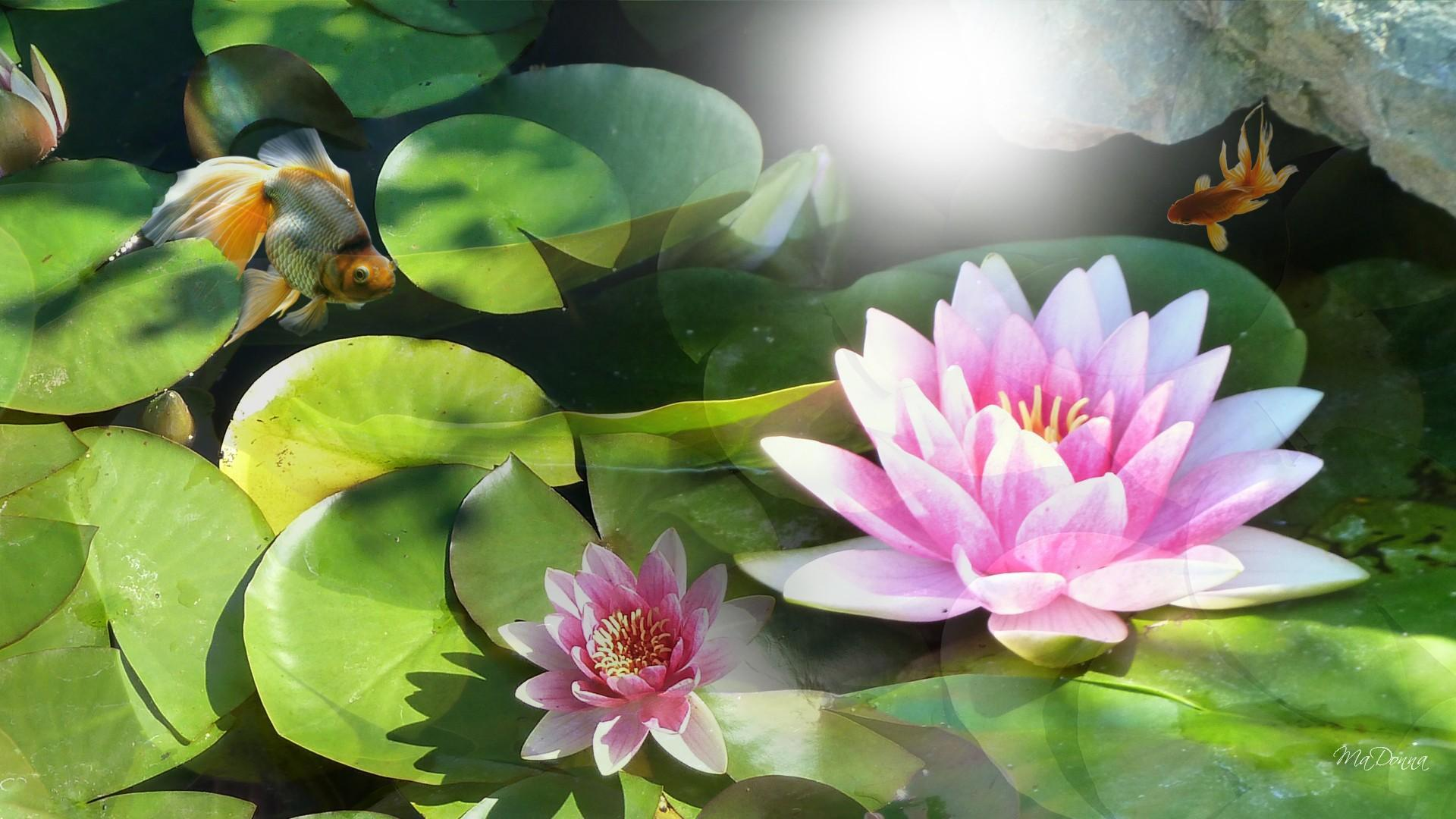 3d Moving Wallpapers For Pc Free Download Sunshine On Water Lily Hd Desktop Wallpaper Widescreen