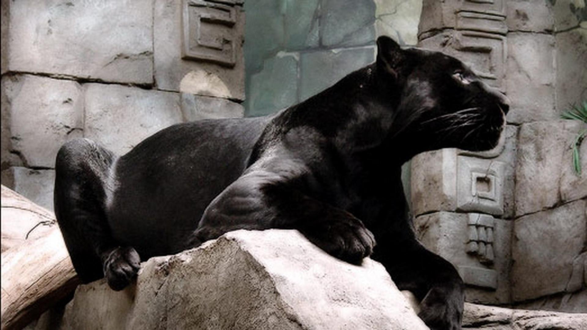 Black Panther Animal Wallpaper Temple Cat Hd Desktop Wallpaper Widescreen High