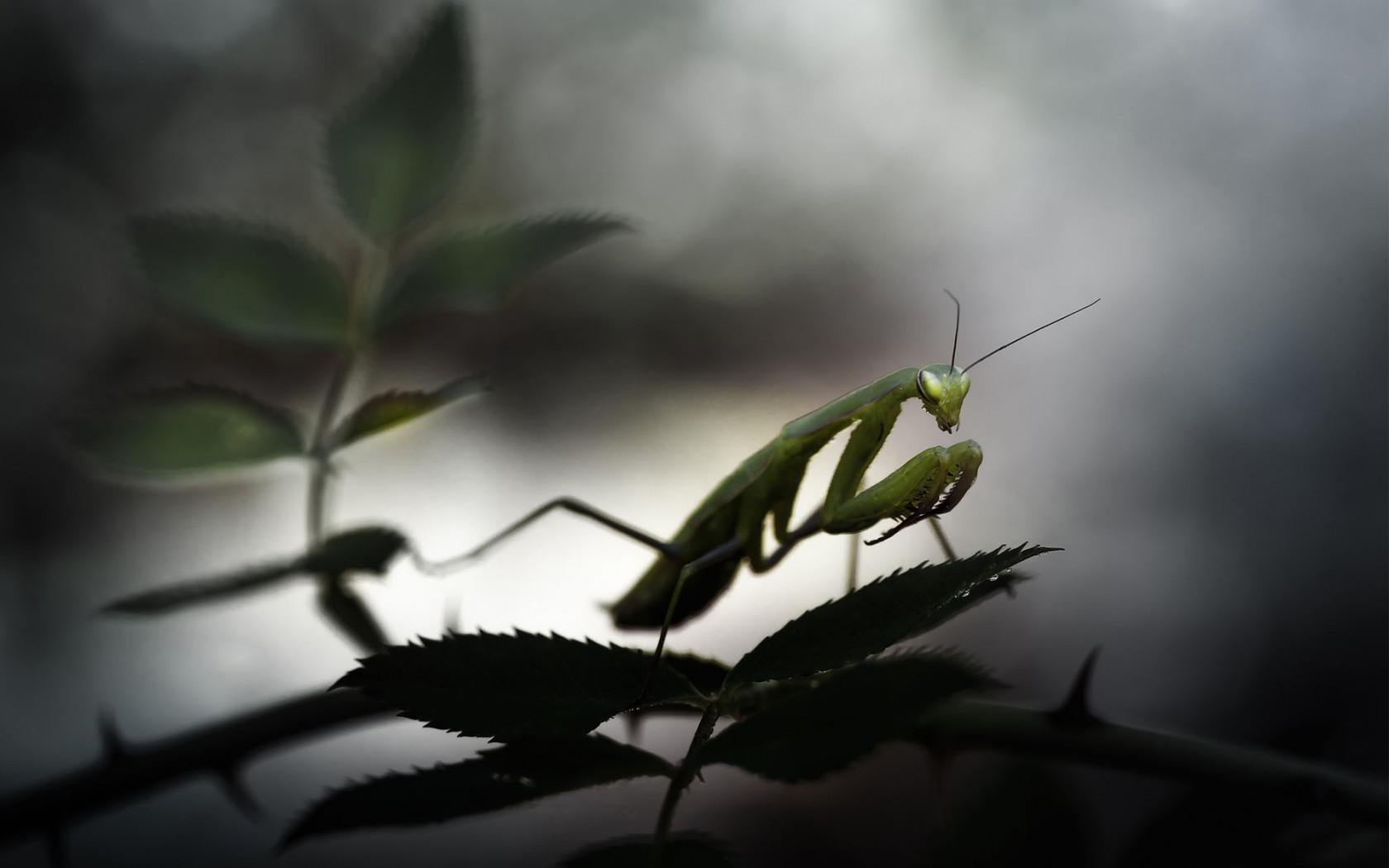 Happy New Year 3d Wallpaper Download Hd Animals Mantis Praying Widescreen Wallpaper Download