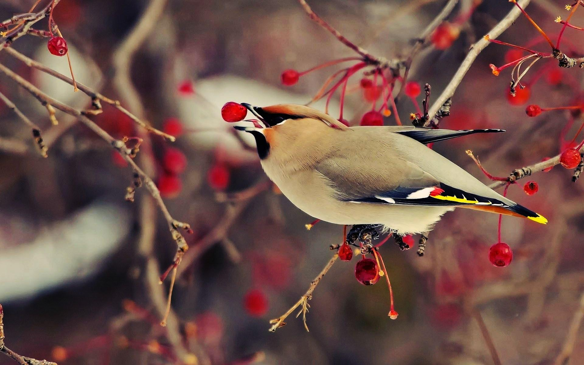 Cute Black And White Disney Desktop Wallpapers Hd Bohemian Waxwing Bird Wallpaper Download Free 139775