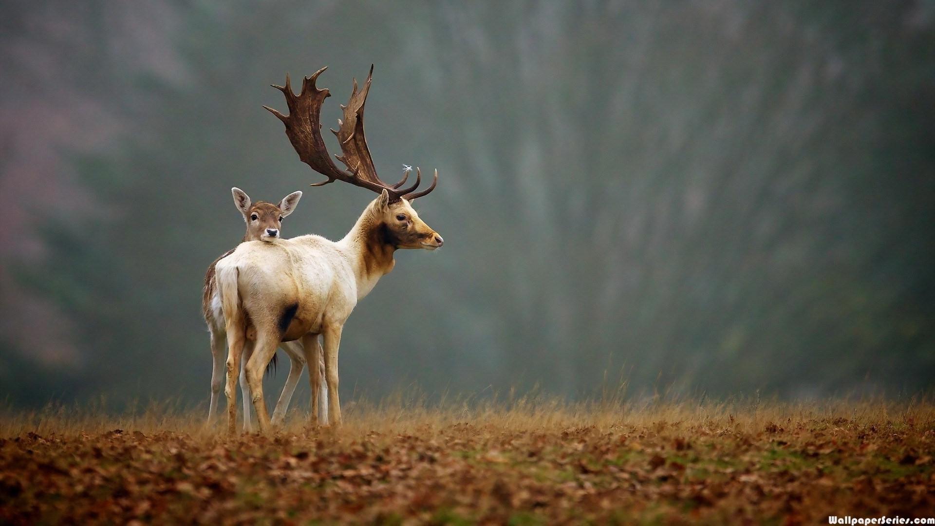 Amazing 3d Wallpapers 1080p Hd Deer Nature Wallpaper Download Free 140585