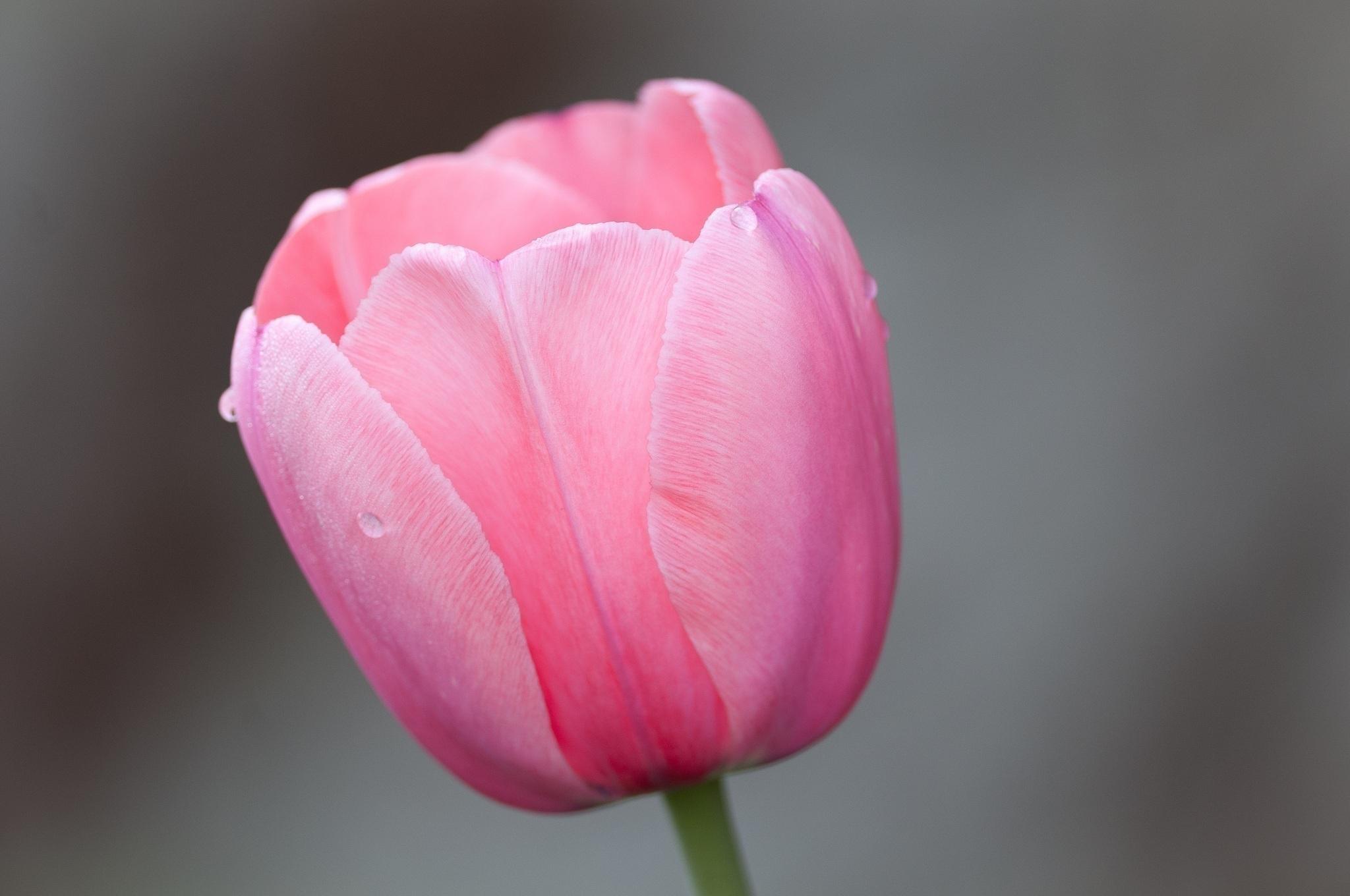 Cute Baby Girl Good Night Wallpaper Hd Flower Tulip Pink Macro Bokeh Photo Download Wallpaper