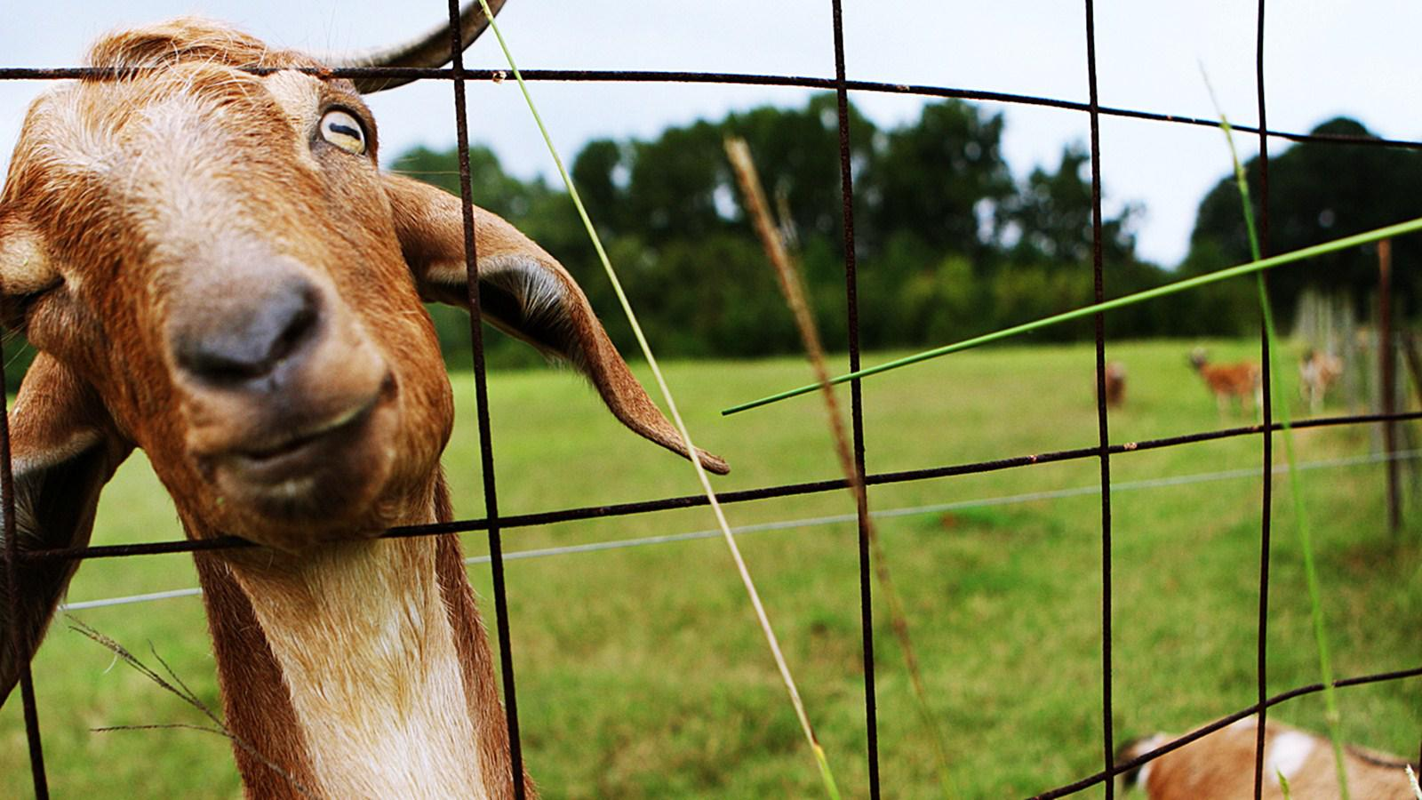 Animated Happy New Year D Hd Goat Simulator Background Wallpaper Download Free