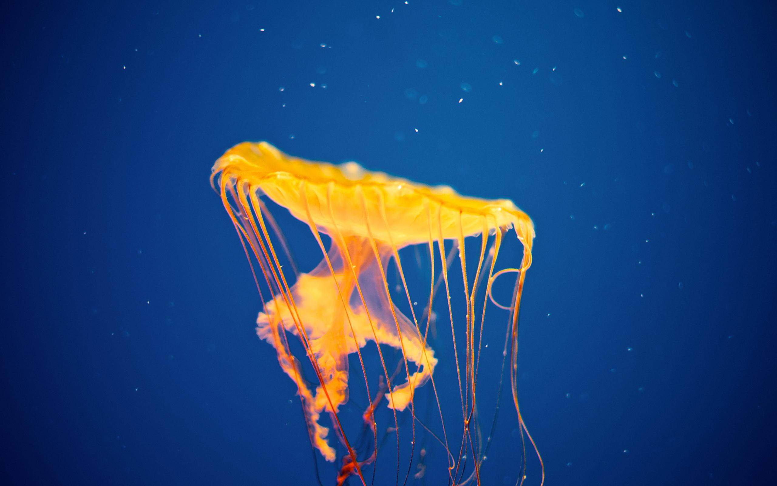 3d Tiger Wallpapers For Desktop Hd Jellyfish Underwater Ocean Sea Bokeh Jelly Hd Pictures