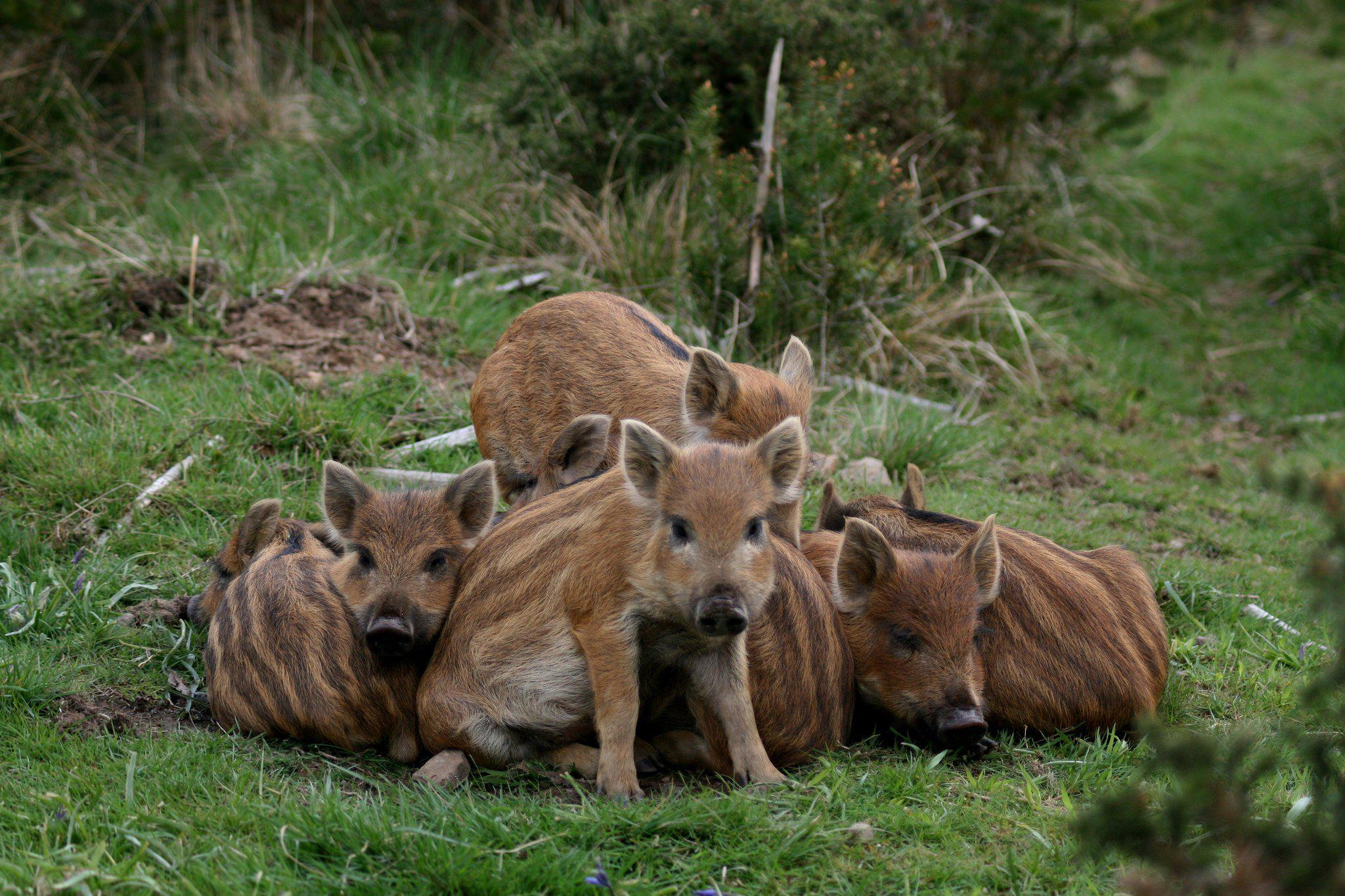 Good Night 3d Wallpapers Free Download Hd Pigs Wild Boars Baby Wide Mobile Wallpaper Download