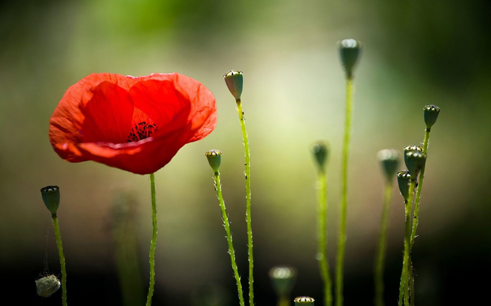 Good Night 3d Moving Wallpaper Hd Poppy Hd Wallpaper Download Free 138681
