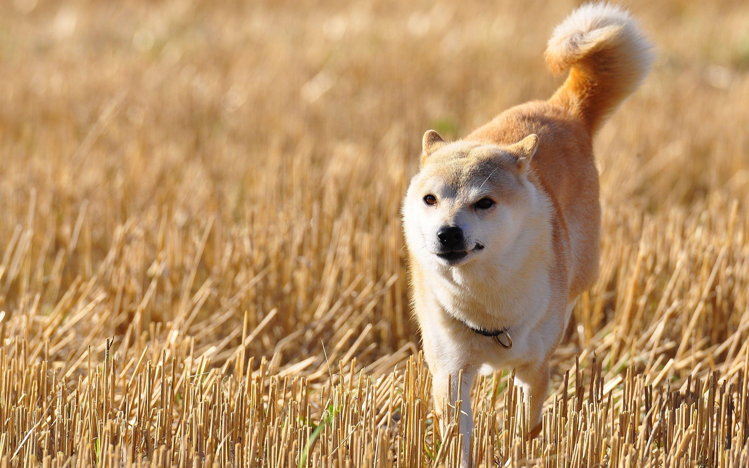 Shiba Inu Cute Desktop Wallpaper Hd Shiba Inu Walking On The Fied Wallpaper Download Free