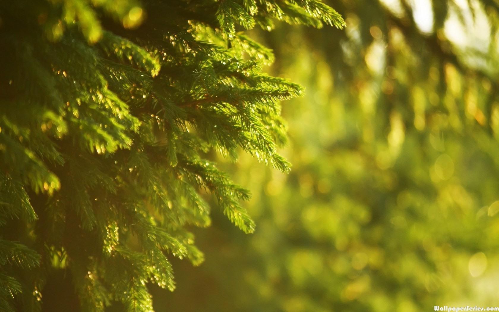 Girl Side Face Wallpaper Hd Spruce Tree Wallpaper Download Free 139447