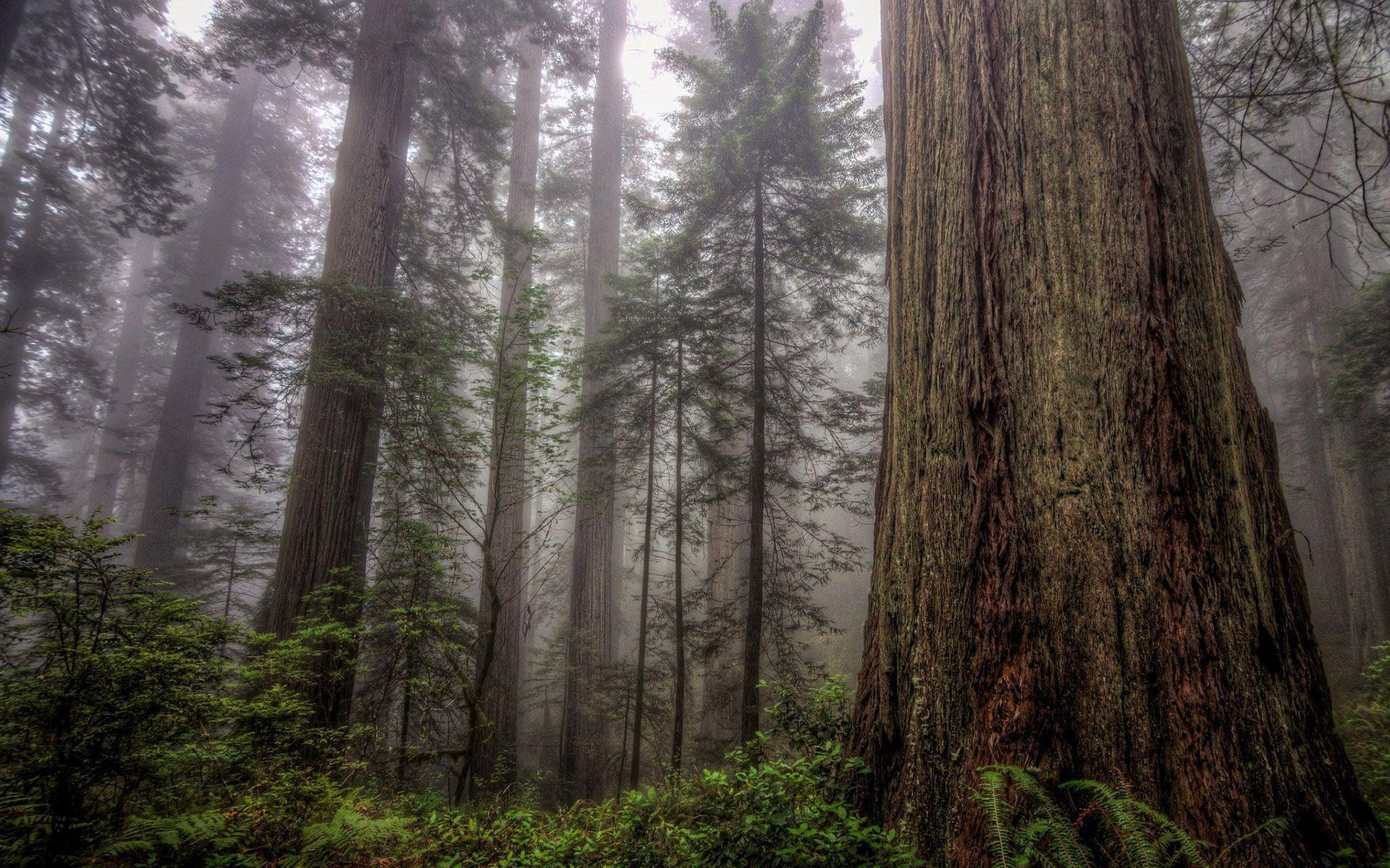 Happy Fall Wallpaper 1366x768 Hd Tall Trees In The Foggy Forest Wallpaper Download