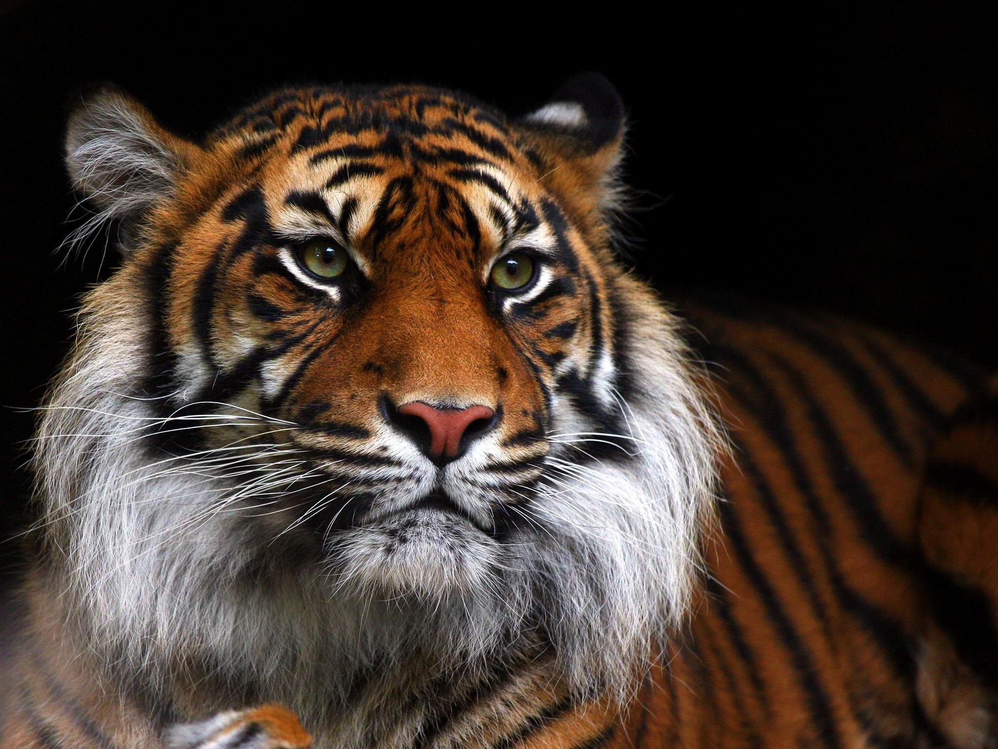 Cute Tiger Cubs Hd Wallpapers Hd Tiger Wild Cat Muzzle Android Wallpaper Download Free