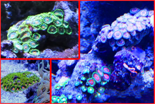 Good Corals for Beginners: Zoanthid and Palythoa   Reef Aquarium
