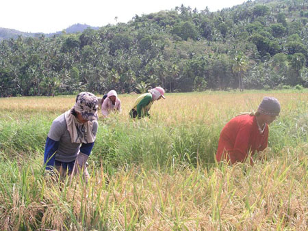 Farmers in a ricefield in Surigao. (davaotoday.com photo by Daisy C. Gonzales)