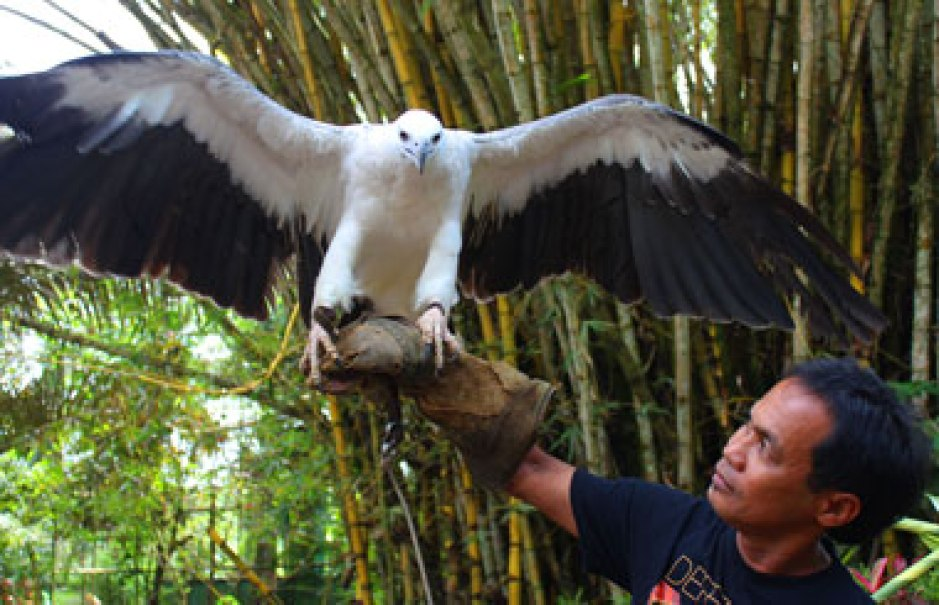 WINGSPAN. A white-bellied sea eagle, Haliaeetus Leucogaster, shows its mighty wings at the Philippine Eagle Center in Malagos, Baguio District, Davao City. The center is currently home to 36 Philippine Eagles, 18 of which are captive-bred; 10 other species of birds, four species of mammals and two species of reptiles. (davaotoday.com photo by Medel V. Hernani)