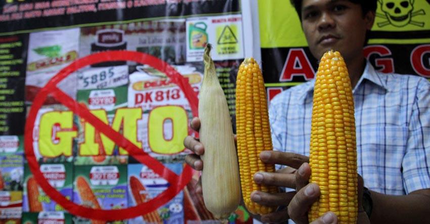 Group warns GMO contamination of Mindanao cornfields
