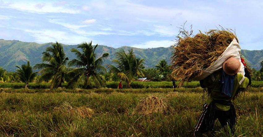 Mindanao farmers suffer big losses due to Rice Tariffication Law