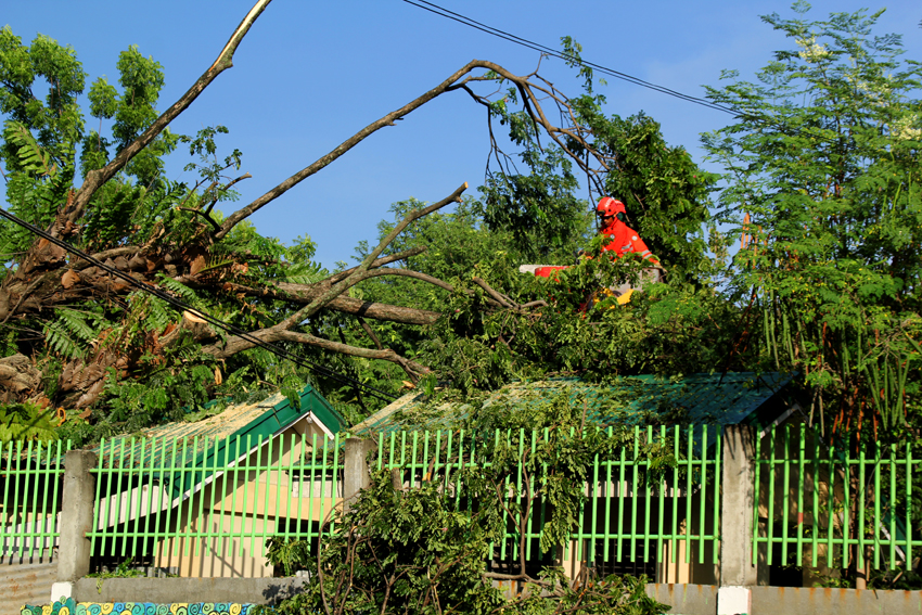 A personnel of 911 chops down a rotting century-old tree at the Kapitan Tomas Monteverde Senior Central Elementary School to avoid mishap as the tree roots are expected to give way soon. The roof of the newly constructed restroom for pupils has been damaged by the tree.(Ace R. Morandante/davaotoday.com)
