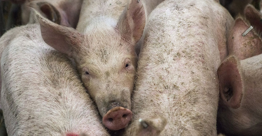 DA-10 says it's ready for African Swine Fever