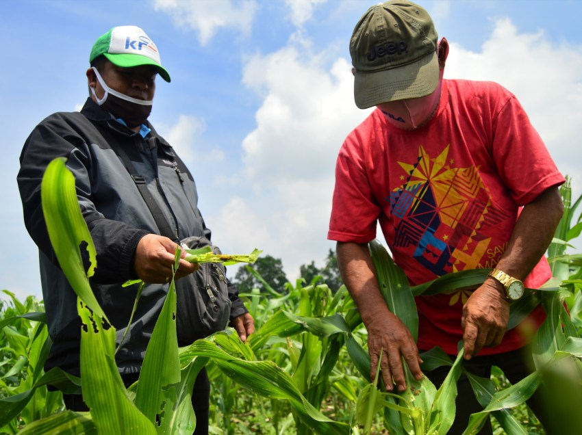 DA-10: Worm infestation in Normin corn fields, not yet alarming
