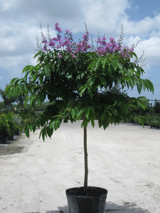 Wholesale Company In Us Queen Crape Myrtle – Davenport 39;s Wholesale Nursery