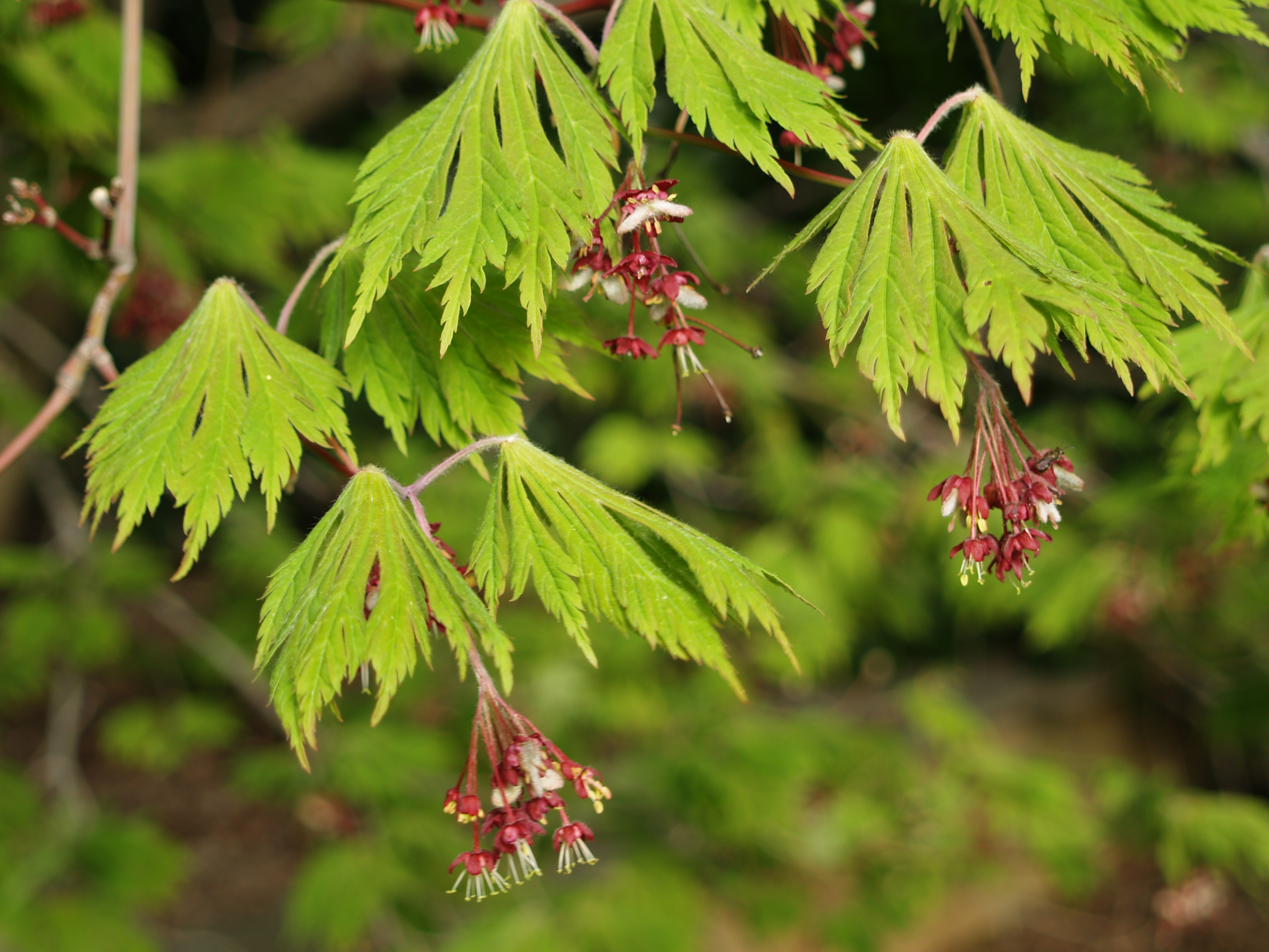 New leaves and flowers on fern leaf japanese maple